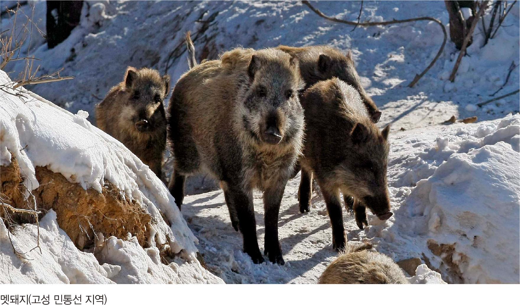 멧돼지(고성 민통선 지역)
