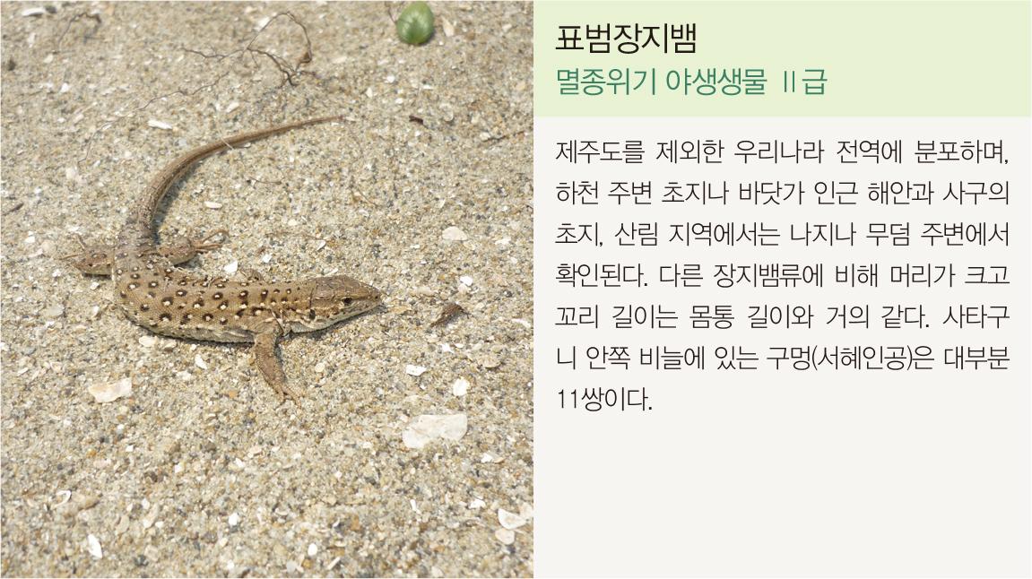 표범장지뱀