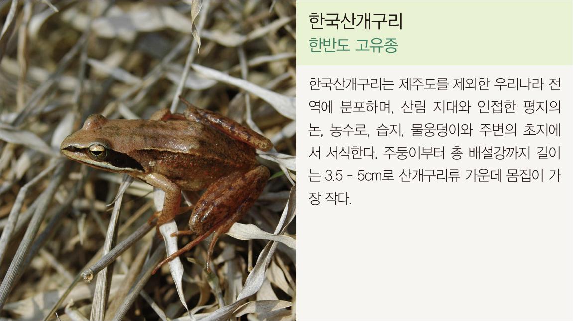 한국산개구리