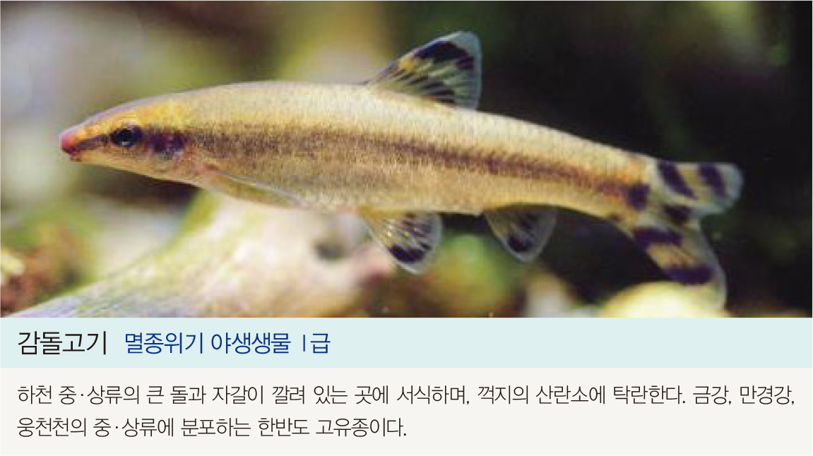 감돌고기 멸종위기야생생물I급