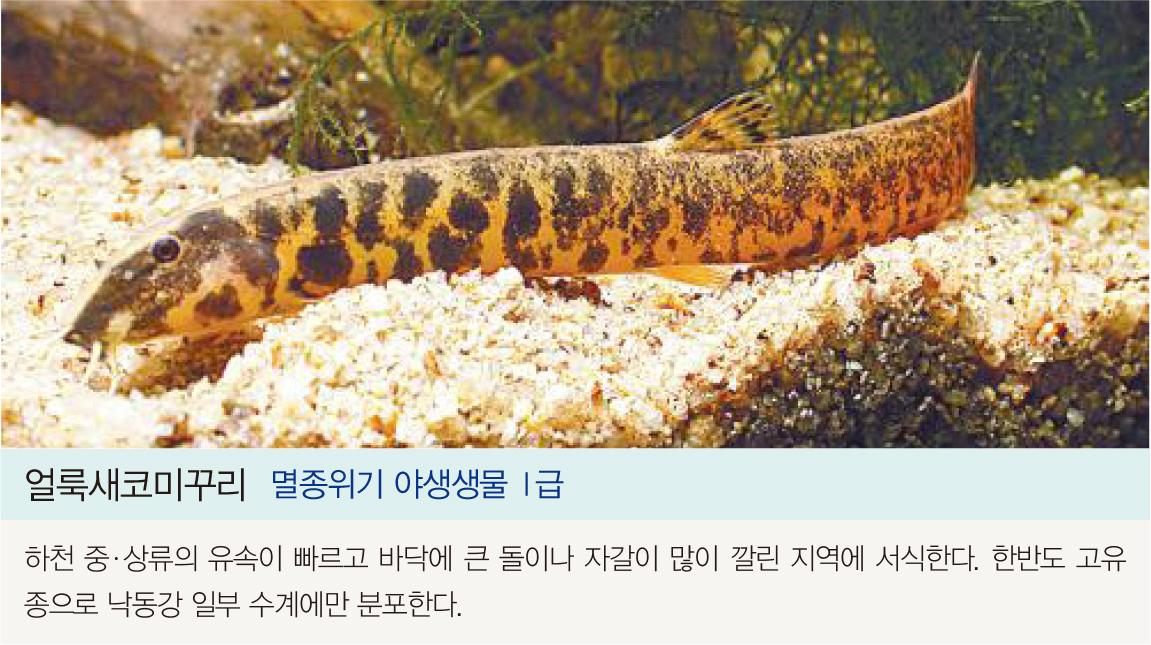 얼룩새코미꾸리 멸종위기 야생생물I급