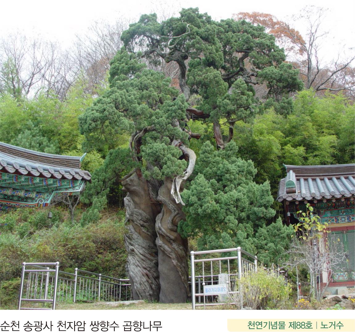 순천 송광사 천자암 쌍향수 곱향나무