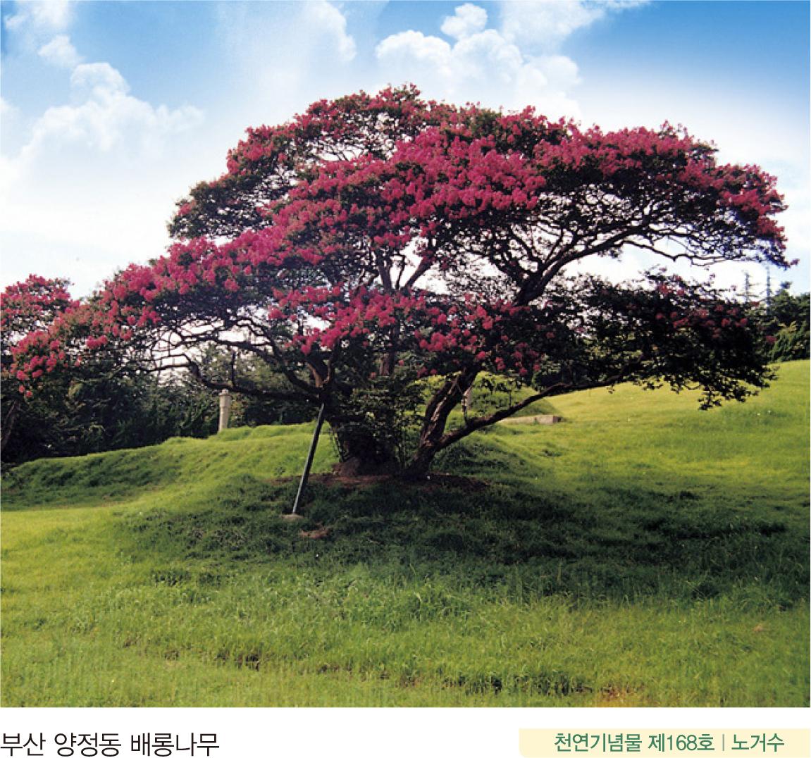 부산 양정동 배롱나무