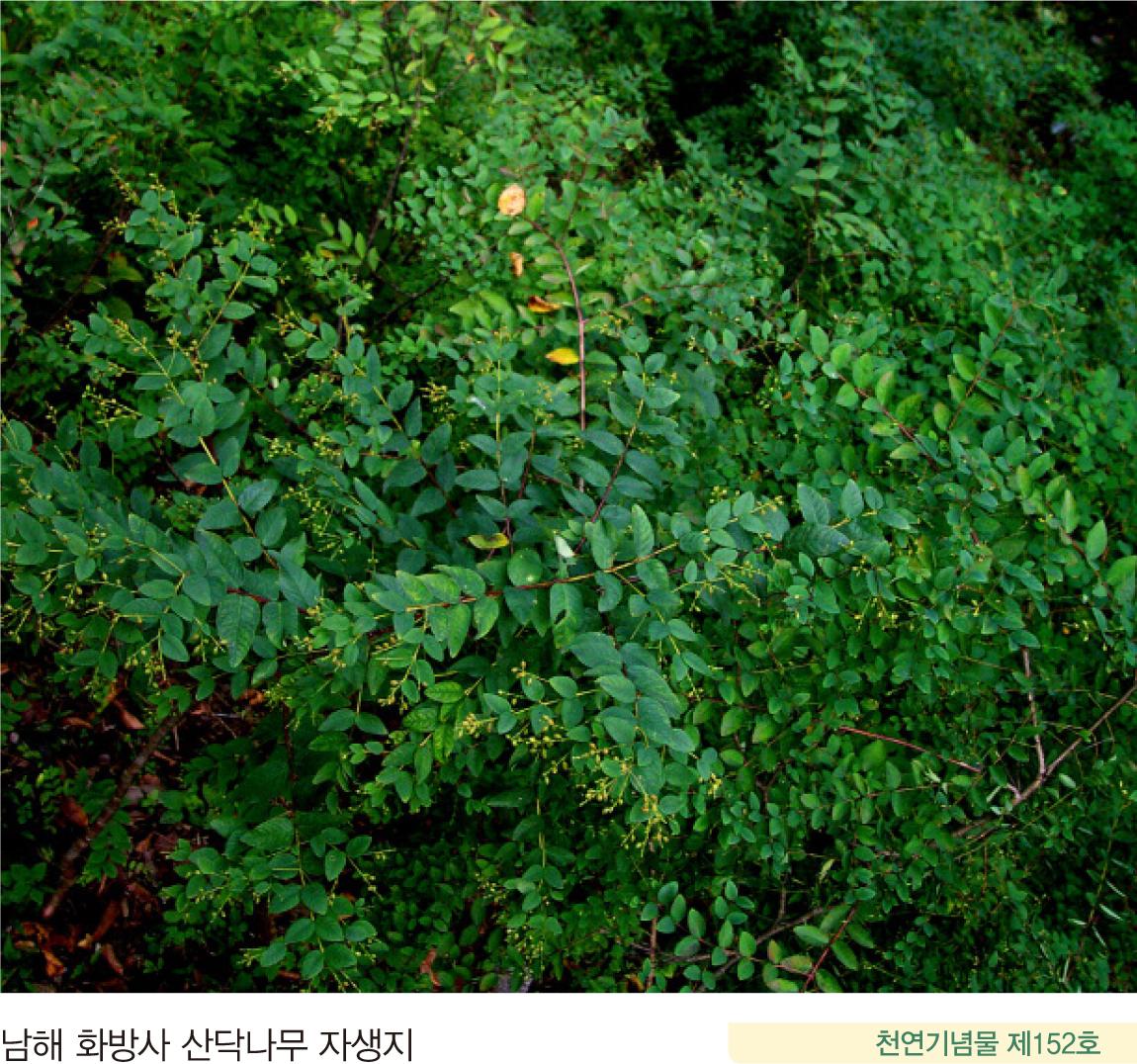 남해 화방사 산닥나무 자생지