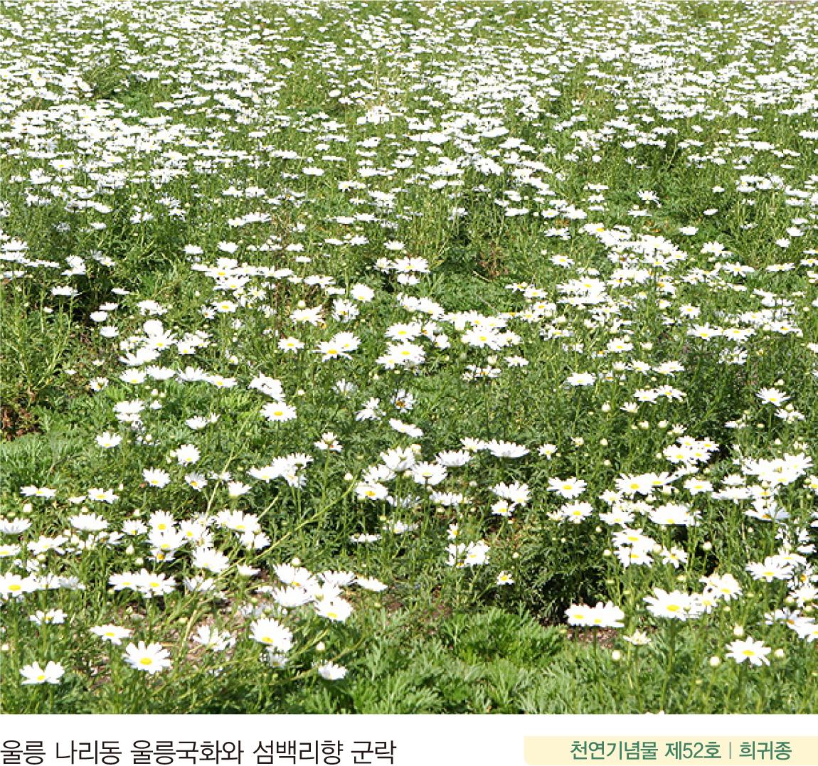 울릉 나리동 울릉국화와 섬백리향 군락