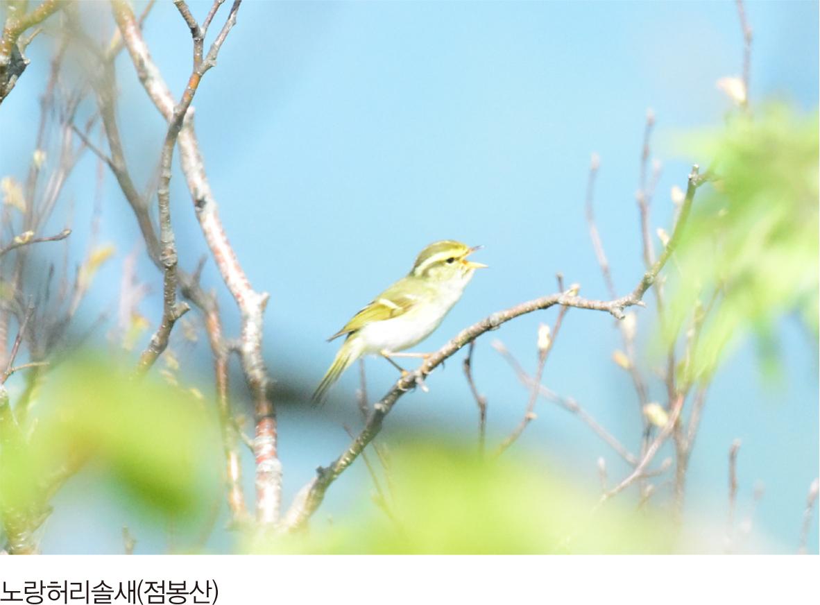 노랑허리솔새(점봉산)