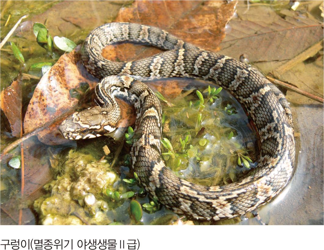 구렁이(멸종위기 야생생물II급)