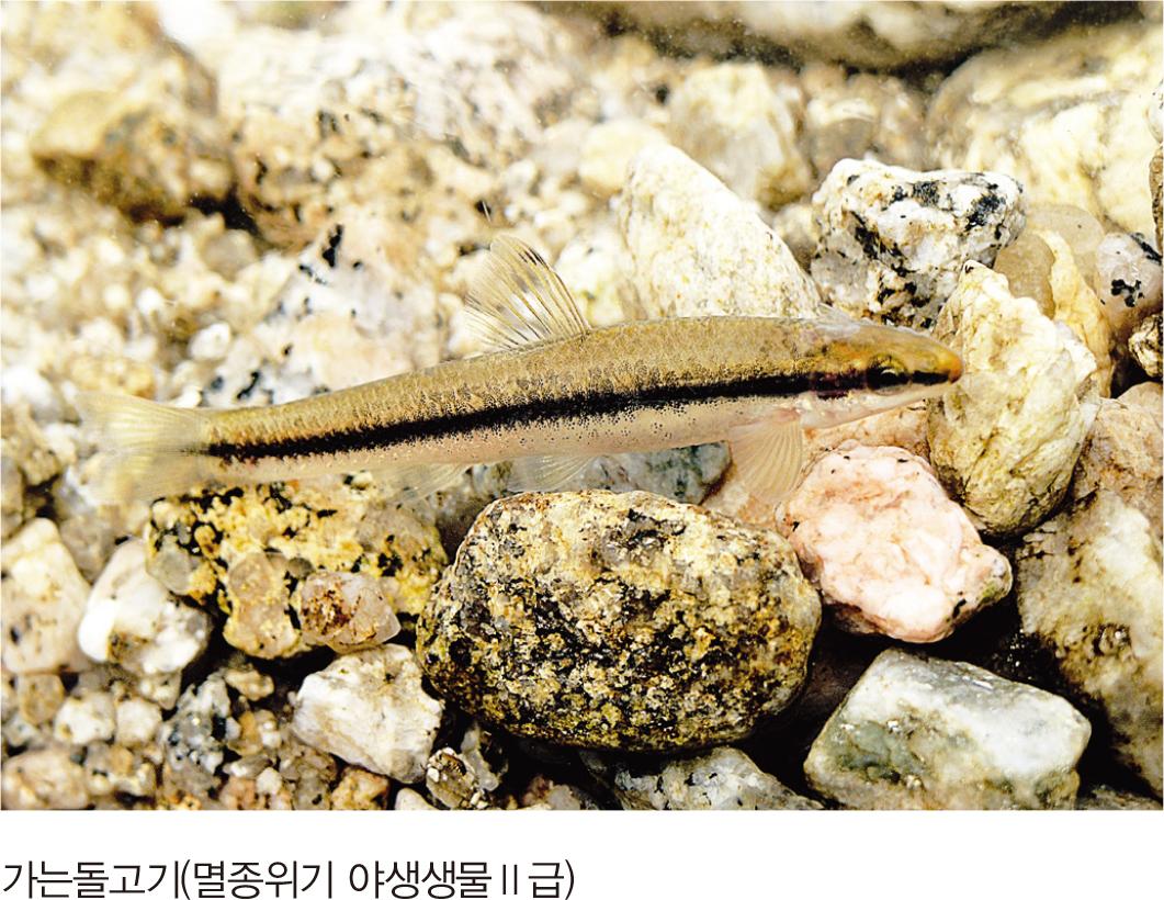가는돌고기(멸종위기 야생생물II급)
